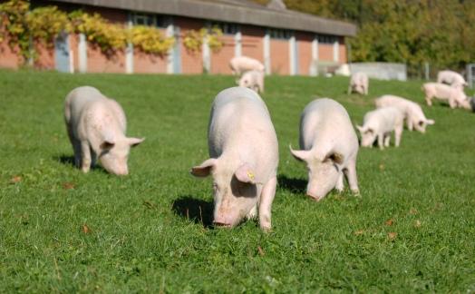 Бенчмаркинг использования антибиотиков в европейском свиноводстве