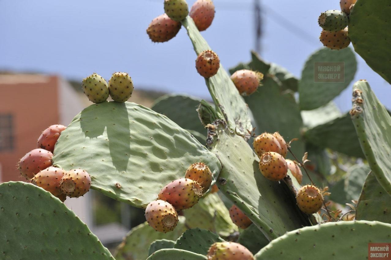 Колонии кошенили на плодах опунции