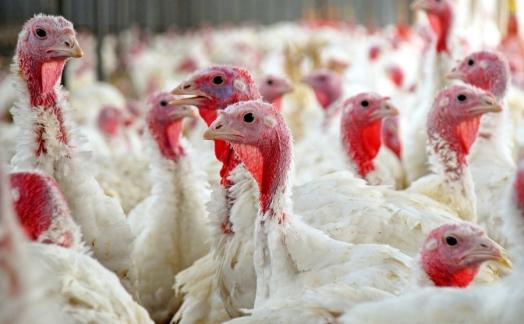 """""""Евродон"""" уничтожил 700 000 голов индейки и продолжает бороться с птичьим гриппом"""