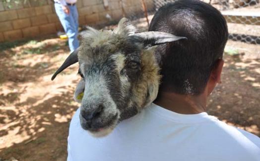 Турецкий фермер обнаружил в ухе овцы челюсть
