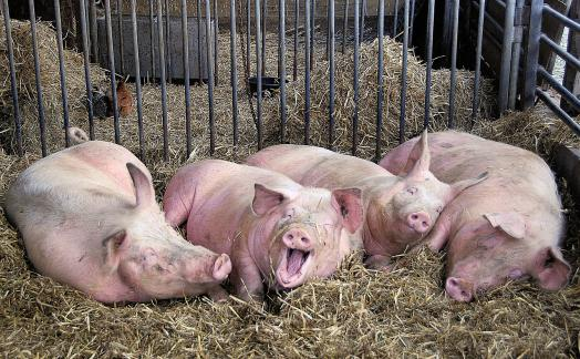 Состоялся первый российский саммит по свиноводству.
