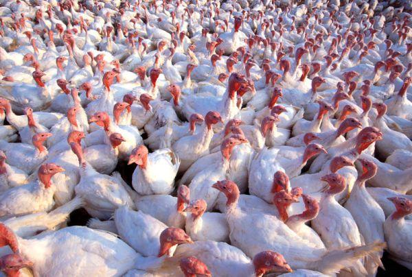turkeys-on-a-farm.jpg